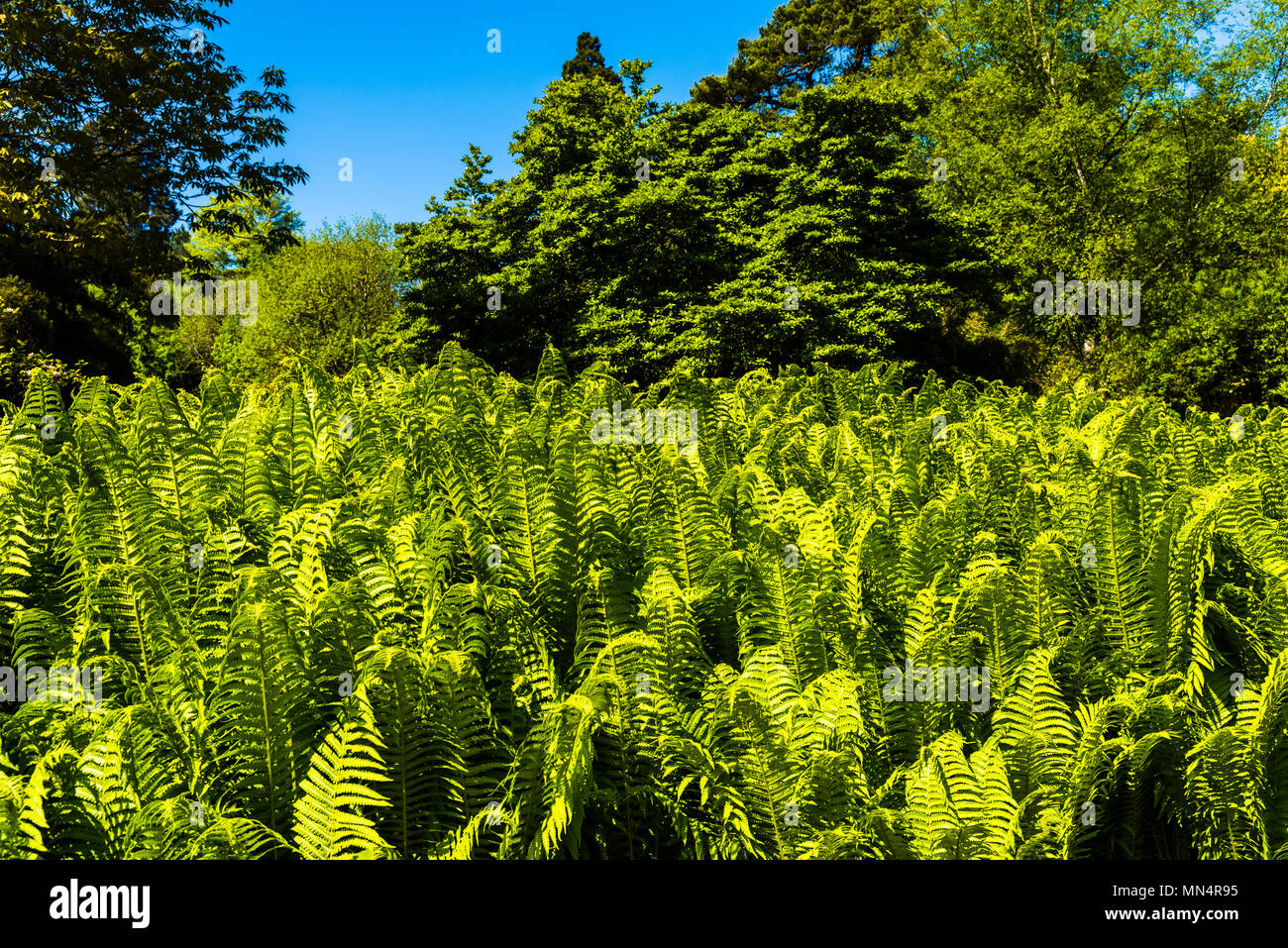 Green ferns at Chartwell, Kent, UK - Stock Image