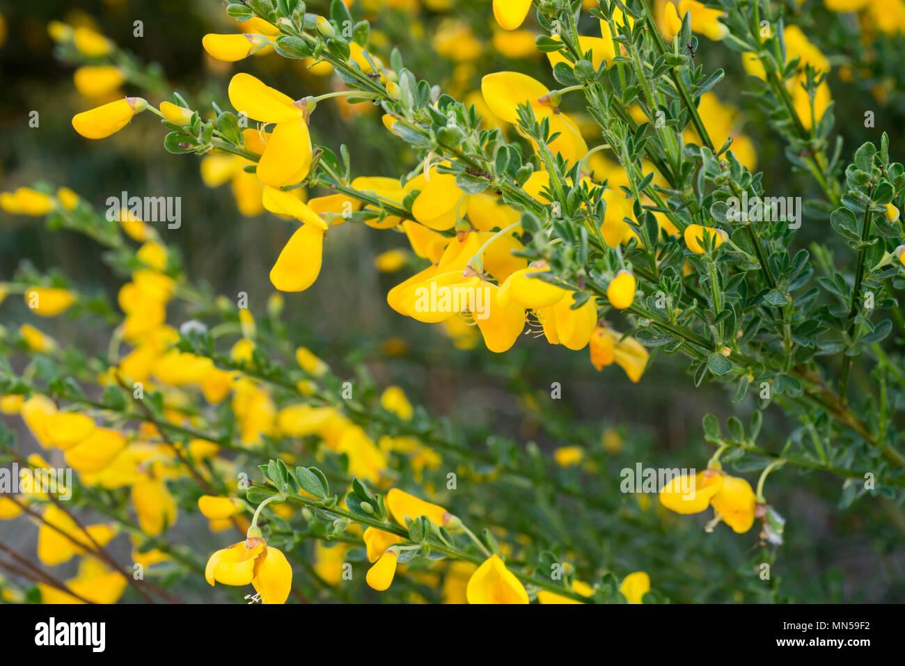 Cytisus scoparius common broom or scotch broom yellow flowers cytisus scoparius common broom or scotch broom yellow flowers closeup selective focus mightylinksfo