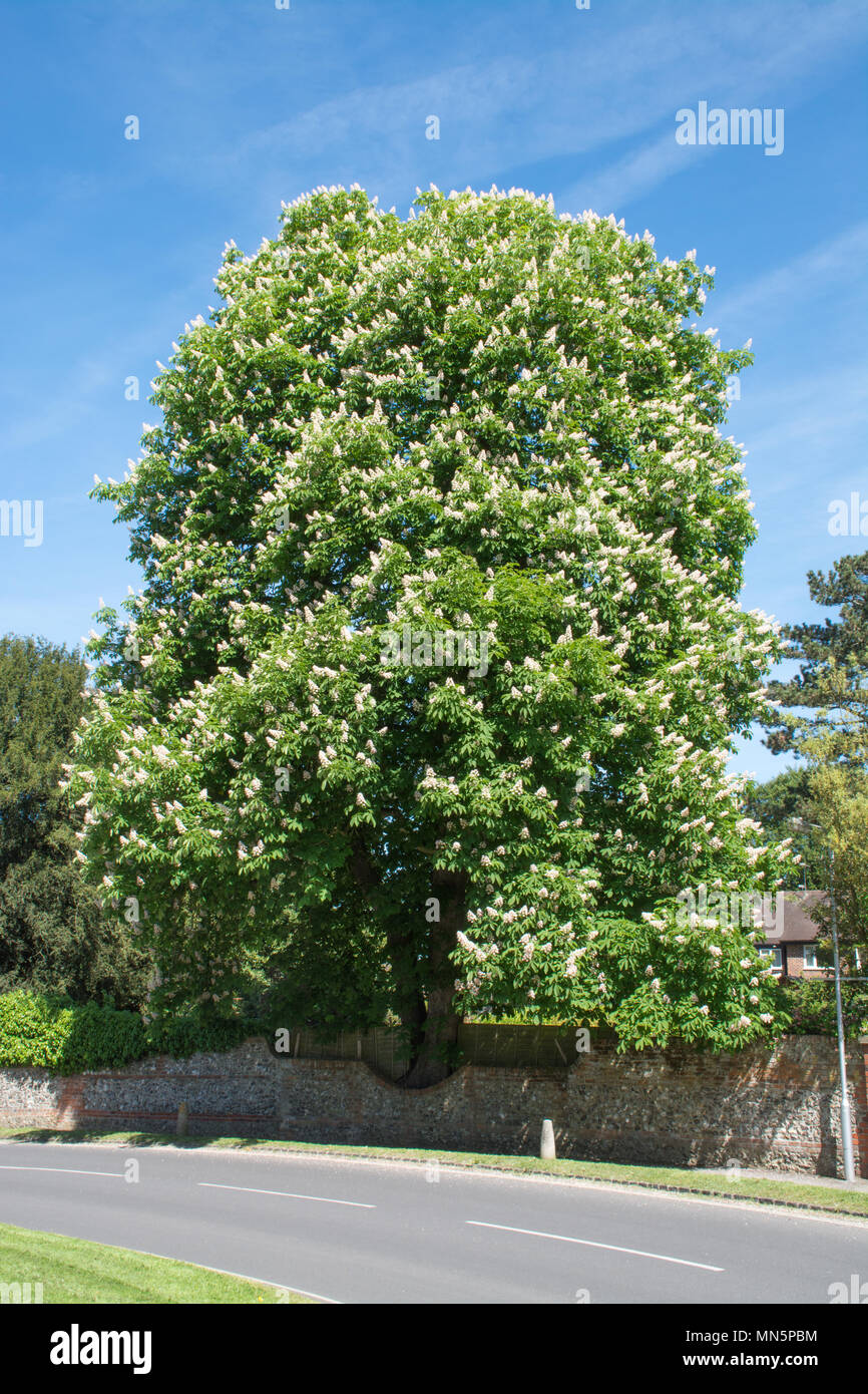 large-horse-chestnut-tree-in-flower-during-may-at-goring-on-thames-in-oxfordshire-uk-MN5PBM.jpg