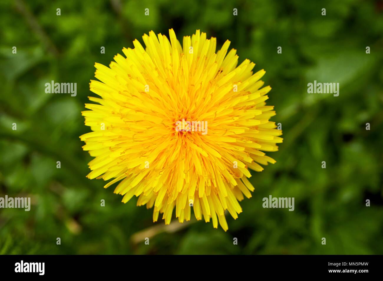 Dandelion Taraxacum Bright Yellow Flower Head Flowering Early In May