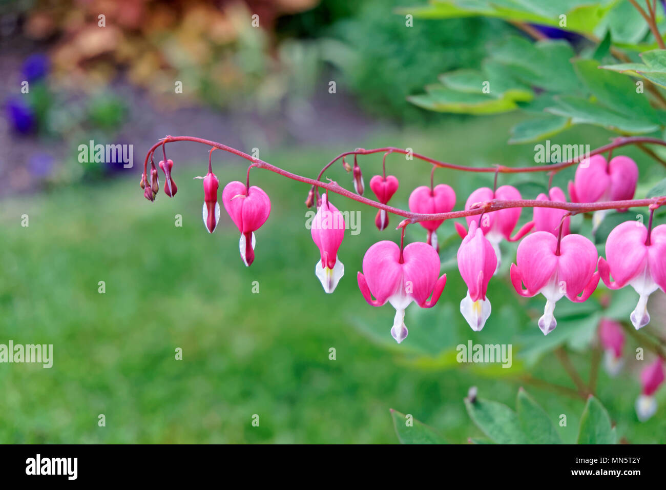 close-up-of-bleeding-heart-or-asian-blee