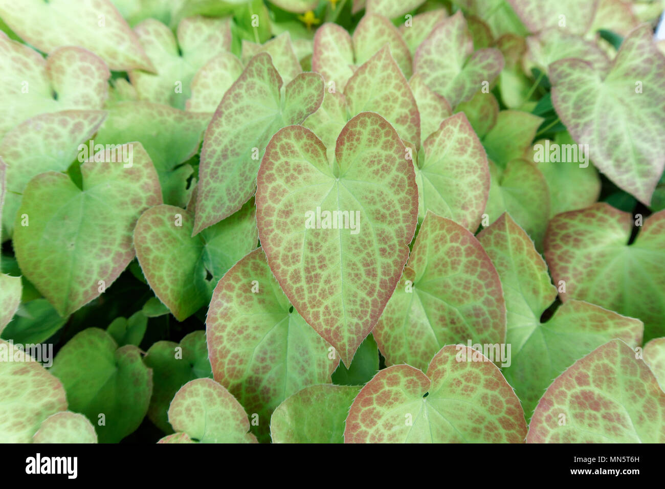 close-up-of-an-epimedium-plant-with-hear