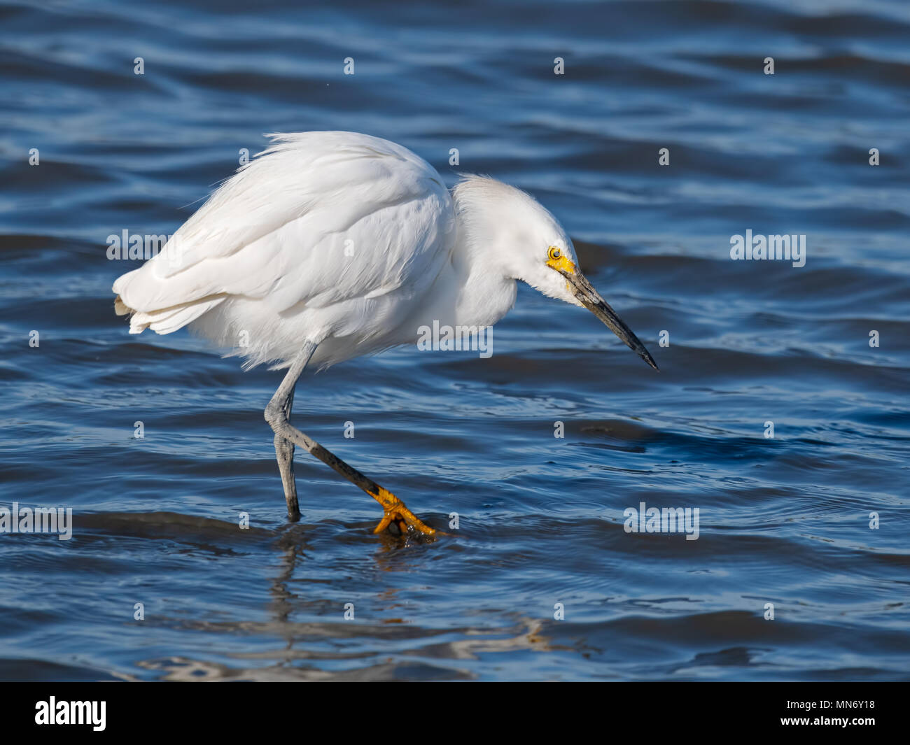 Snowy Egret Hunting - Stock Image