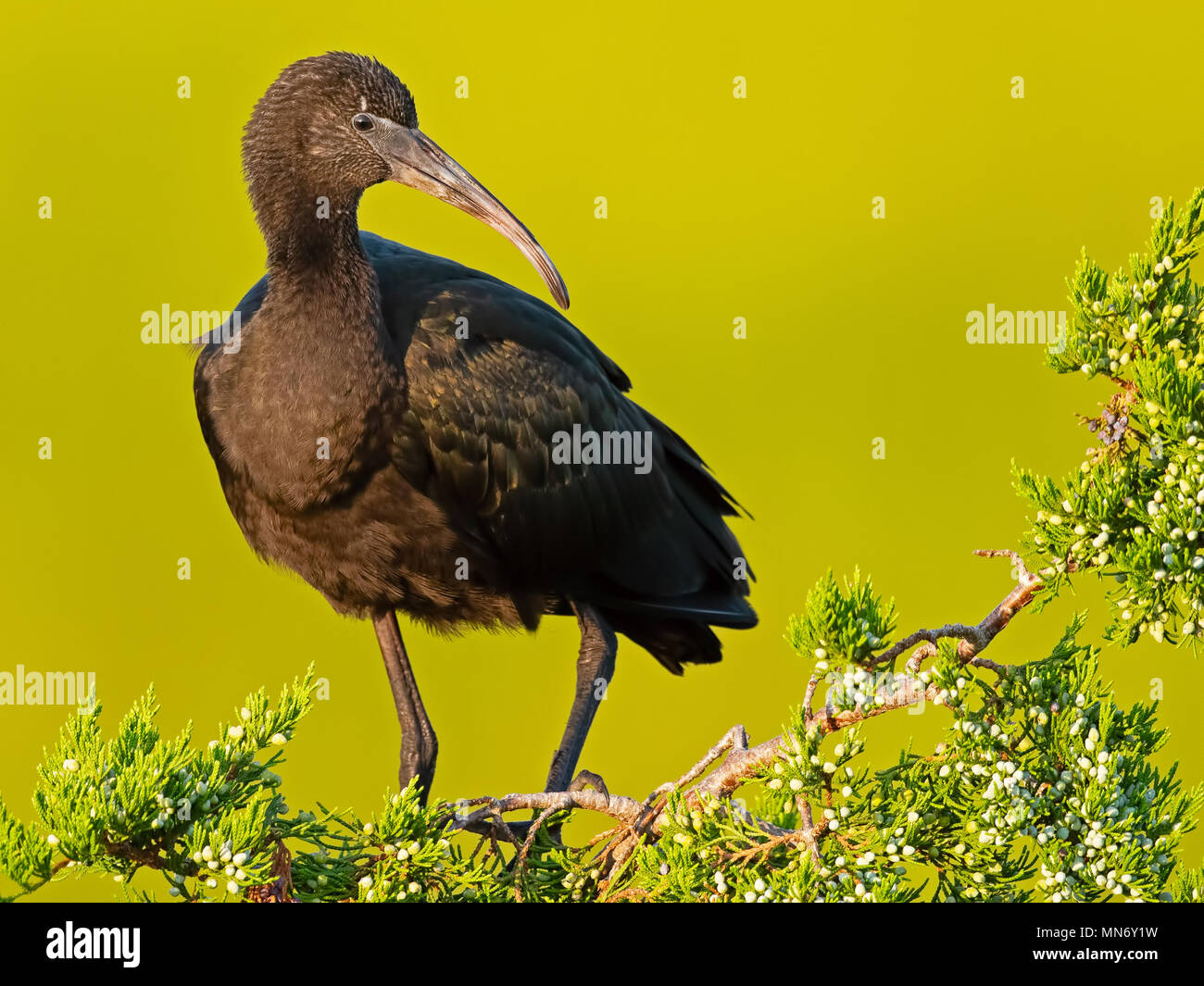 Glossy Ibis in the Trees - Stock Image