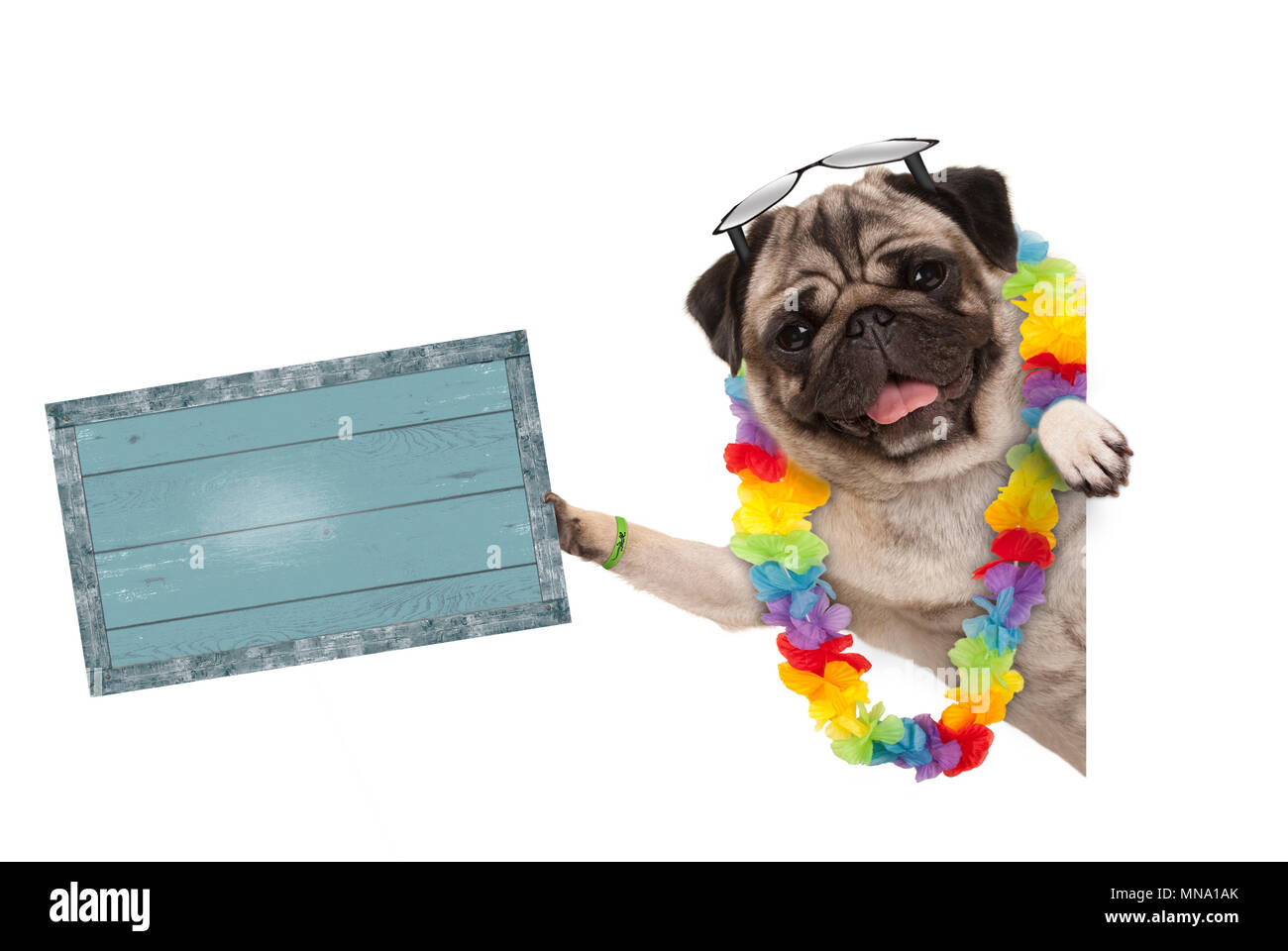 frolic summer pug dog with hawaiian flower garland and sunglasses, holding up blue vintage wooden board, isolated on white background - Stock Image