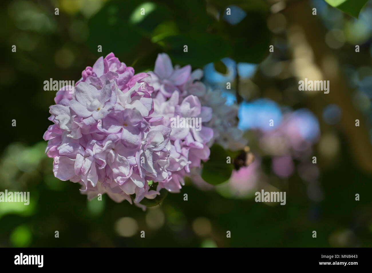 Lilac Blossoming In Uk Garden Backlight Bokehitish Spring