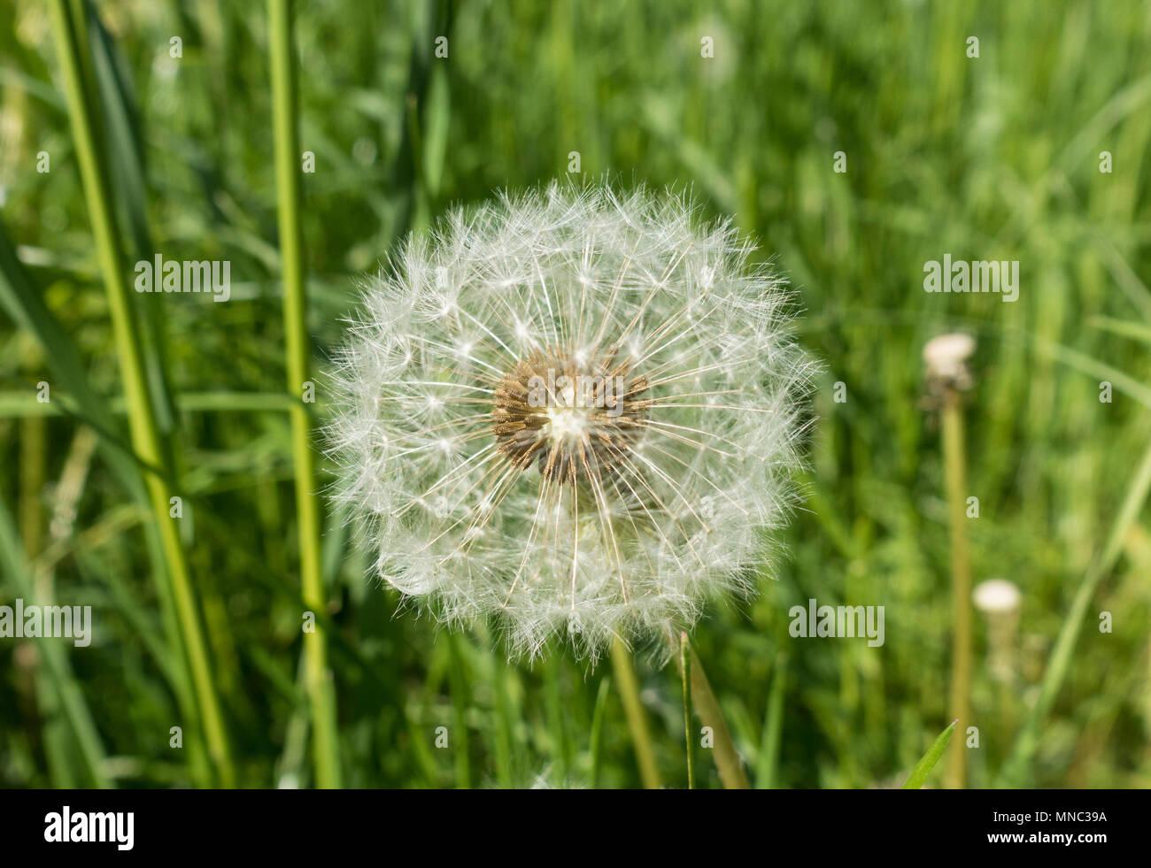 dandelion-seed-head-MNC39A.jpg