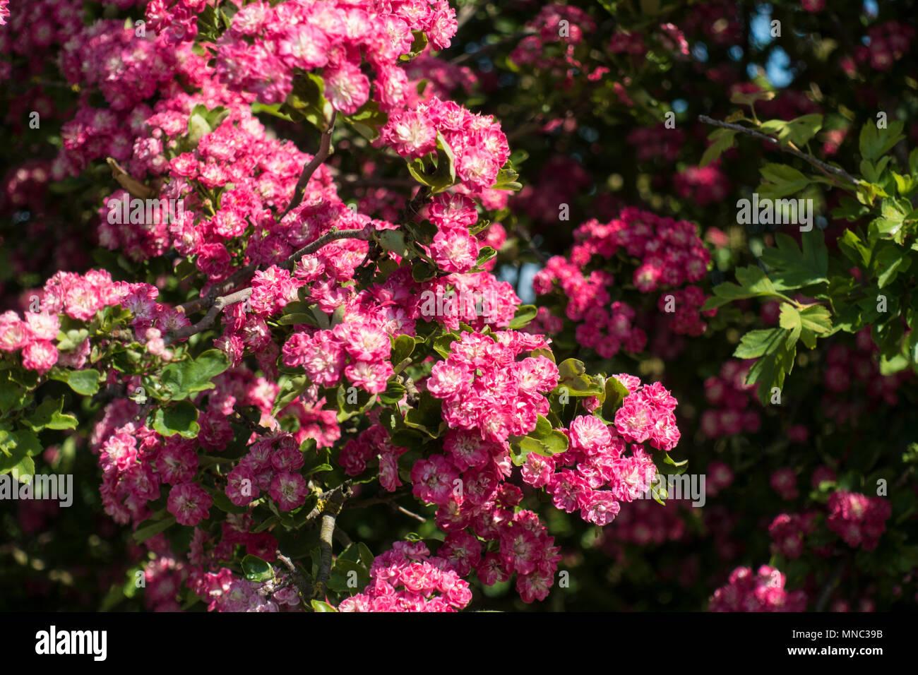 deep-pink-blossom-MNC39B.jpg