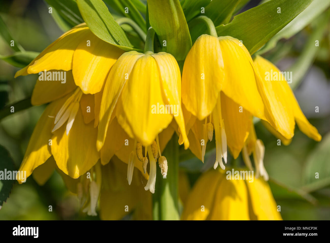 Beautiful Bright Yellow Flowers Hazel Grouse Imperial On A Lawn In A