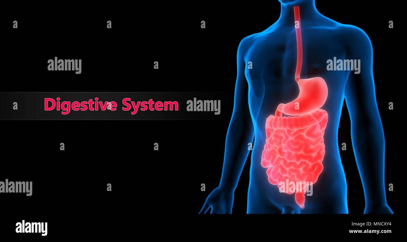 Human Digestive System Anatomy Stock Photo 185296024 Alamy
