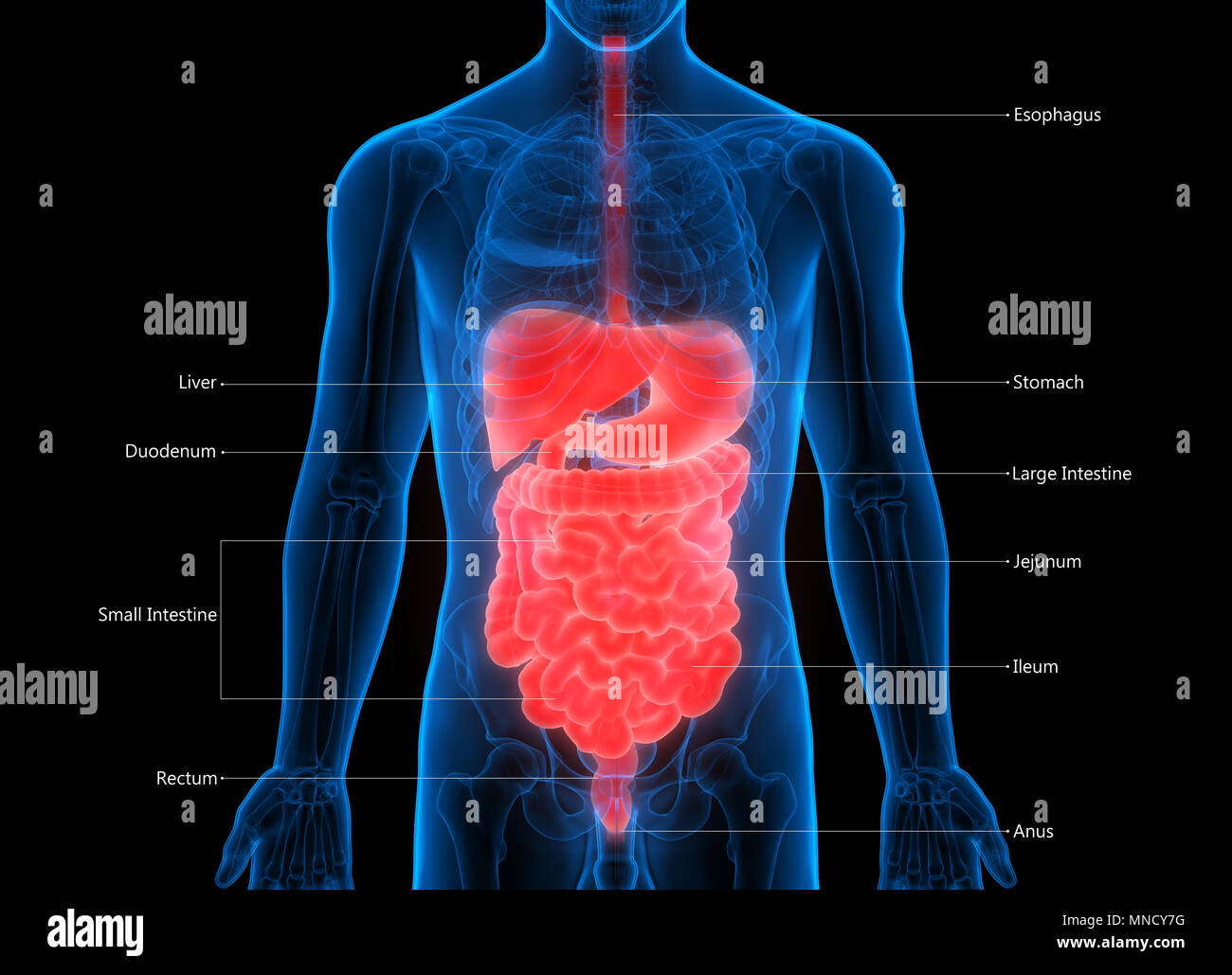 Human Digestive System Anatomy Stock Photo 185296260 Alamy