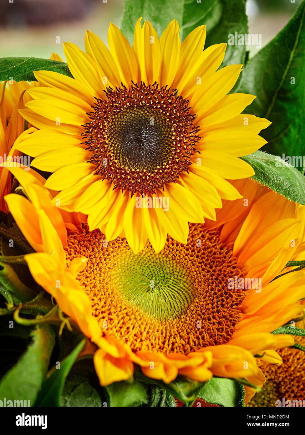 Sunflowers in a vase, close up. - Stock Image