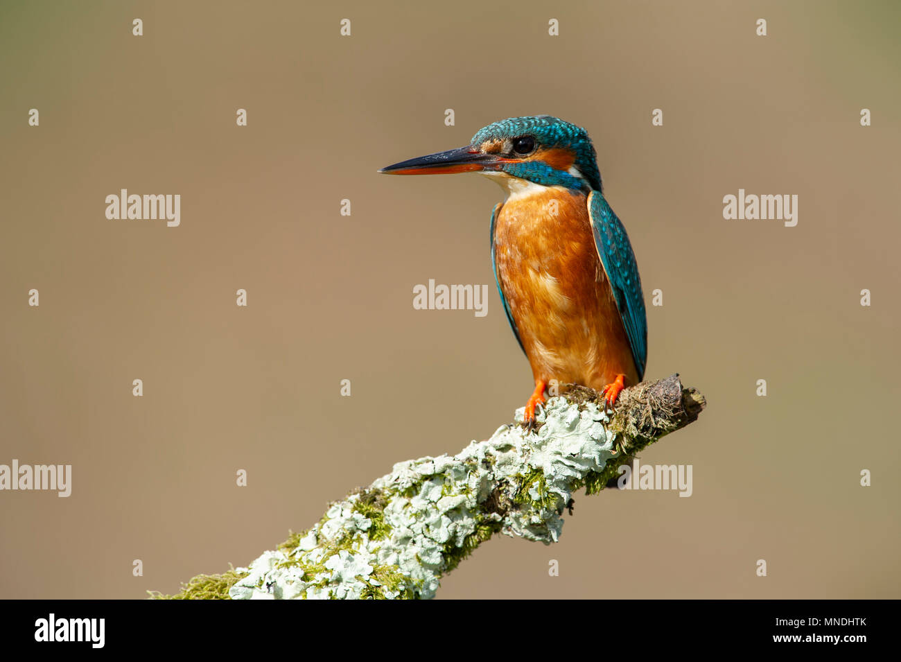 A Female Kingfisher (Alcedo atthis) perched on a branch over a river in the UK - Stock Image