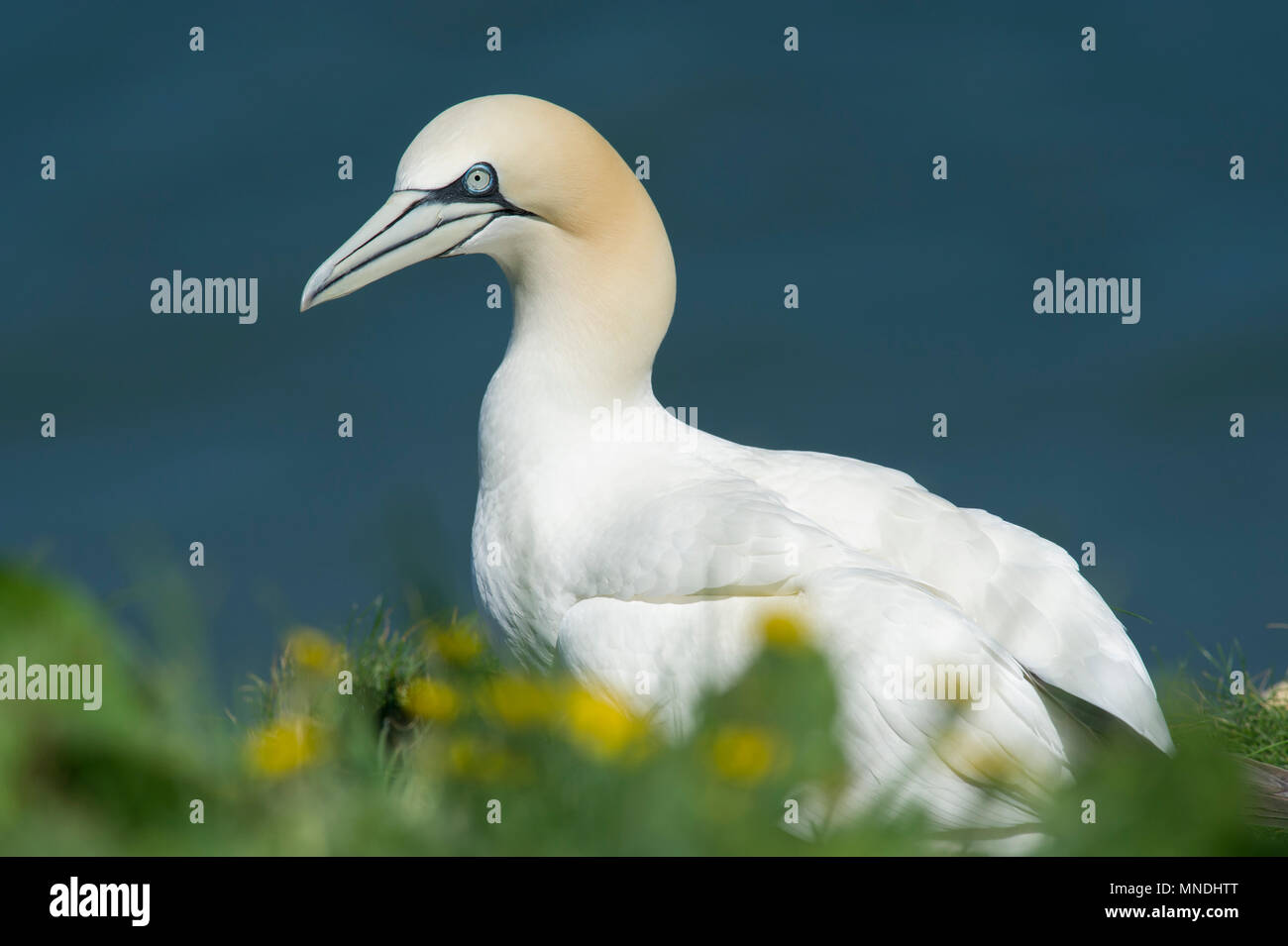 A Gannet (Morus Bassanus) surrounded by flowers on the cliff tops at RSPB Bempton Cliffs on the East Yorkshire coast. - Stock Image