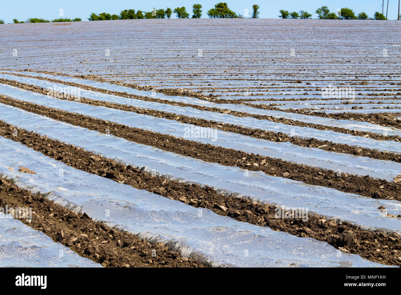 ireland-farmers-field-with-rows-of-biodegradable-plastic-sheeting-strips-covering-the-ground-to-warm-it-and-act-as-frost-protection-for-the-maize-crop-MNF1KH.jpg