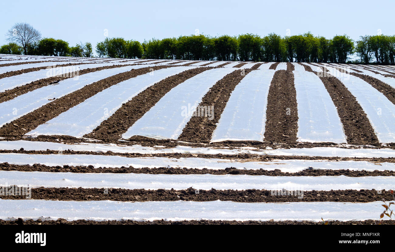 biodegradable-plastic-sheeting-strips-covering-the-ground-to-warm-it-and-act-as-frost-protection-for-the-maize-crop-on-a-farm-in-ireland-MNF1KR.jpg