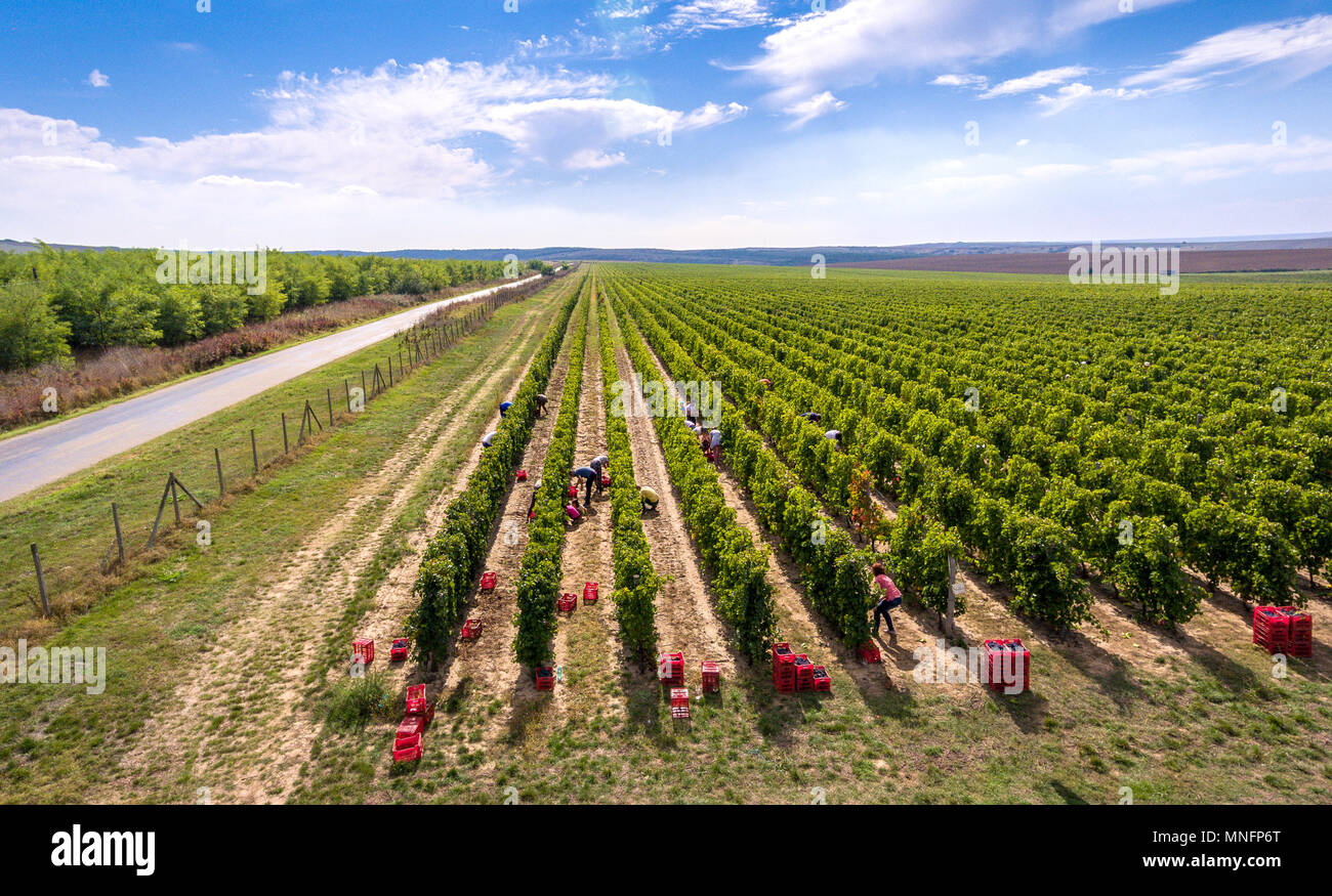 Harvesting vineyard in the autumn season, aerial view from a drone, panoramic image - Stock Image