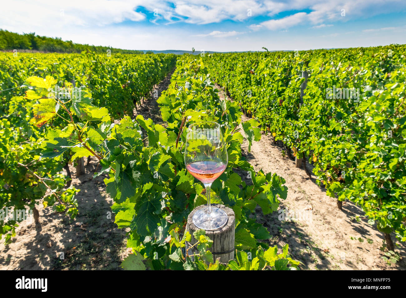 Glass of red wine in the vineyard - Stock Image