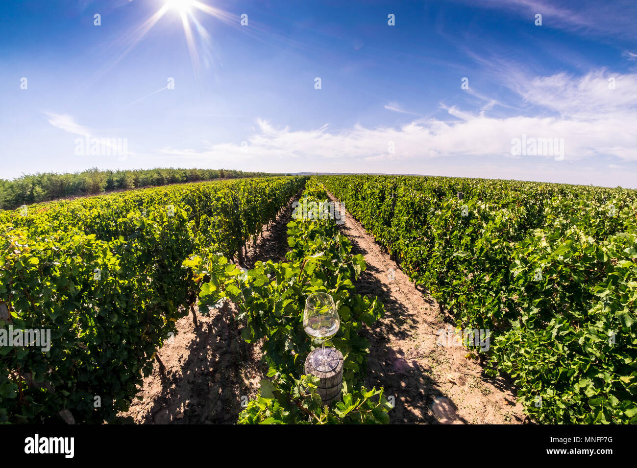 Glass of wine in the vineyard, panoramic view from above in the middle of the autumn harvesting season - Stock Image