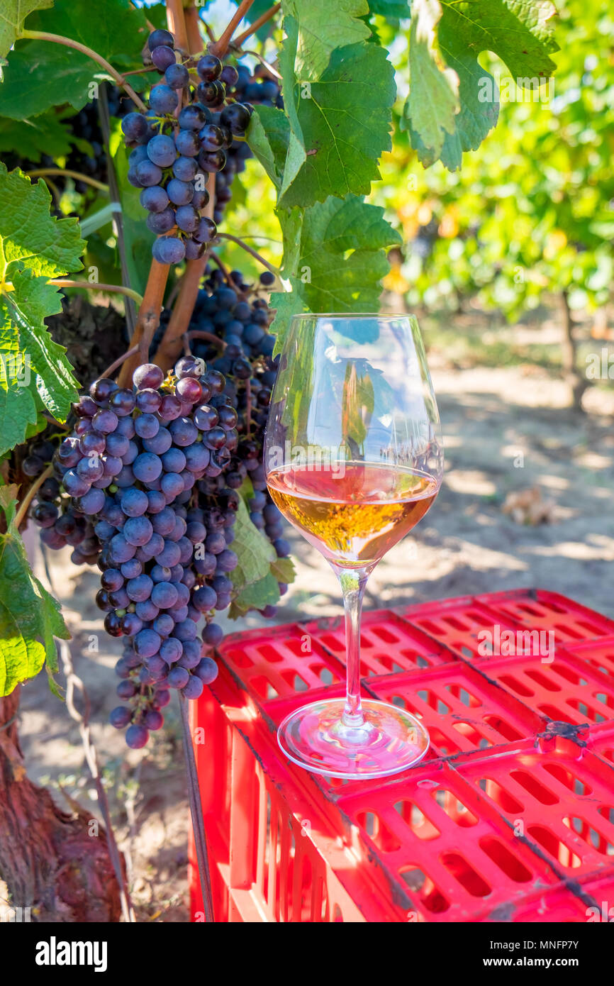 Grapes and red wine in glass in the vineyard. Harvesting season in the middle of autumn, sunny day - Stock Image