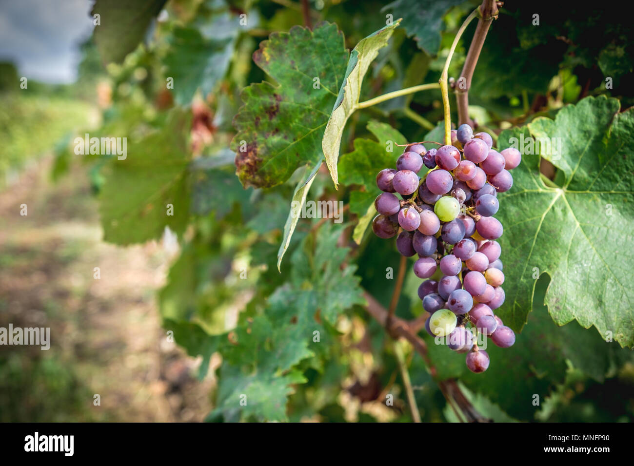 Grapes hanging in vineyard in autumn harvest season - Stock Image