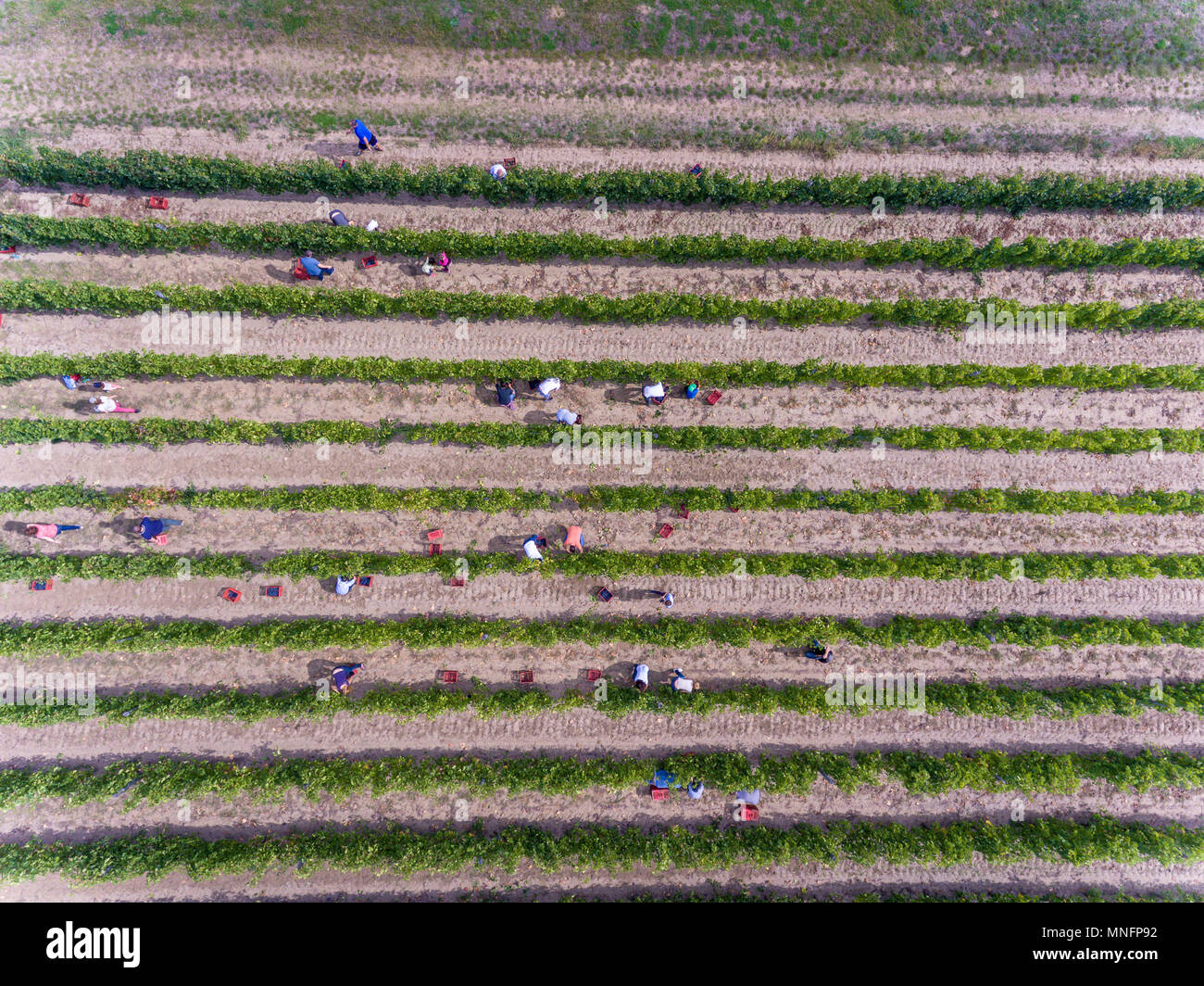 Workers harvesting in vineyard, aerial view from above - Stock Image