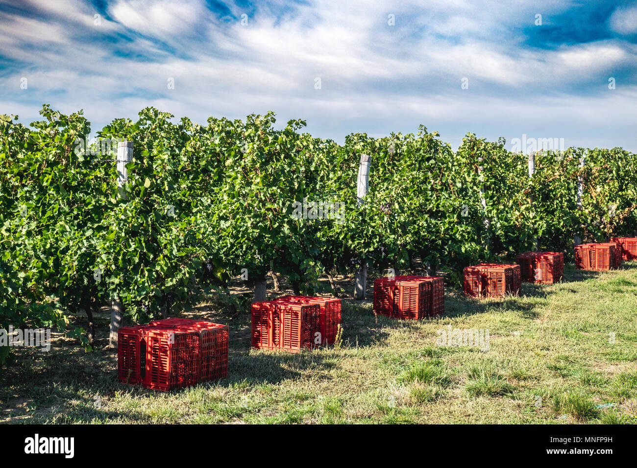 Vineyard harvesting season preparations with red grape colecting boxes. MIddle autumn, colorfull suny day - Stock Image