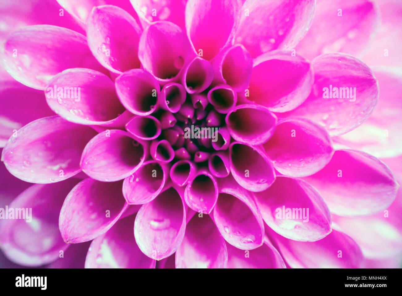 Blurred background pink flower dahlia top view pompon dahlias blurred background pink flower dahlia top view pompon dahlias flowers pattern pastel colors izmirmasajfo
