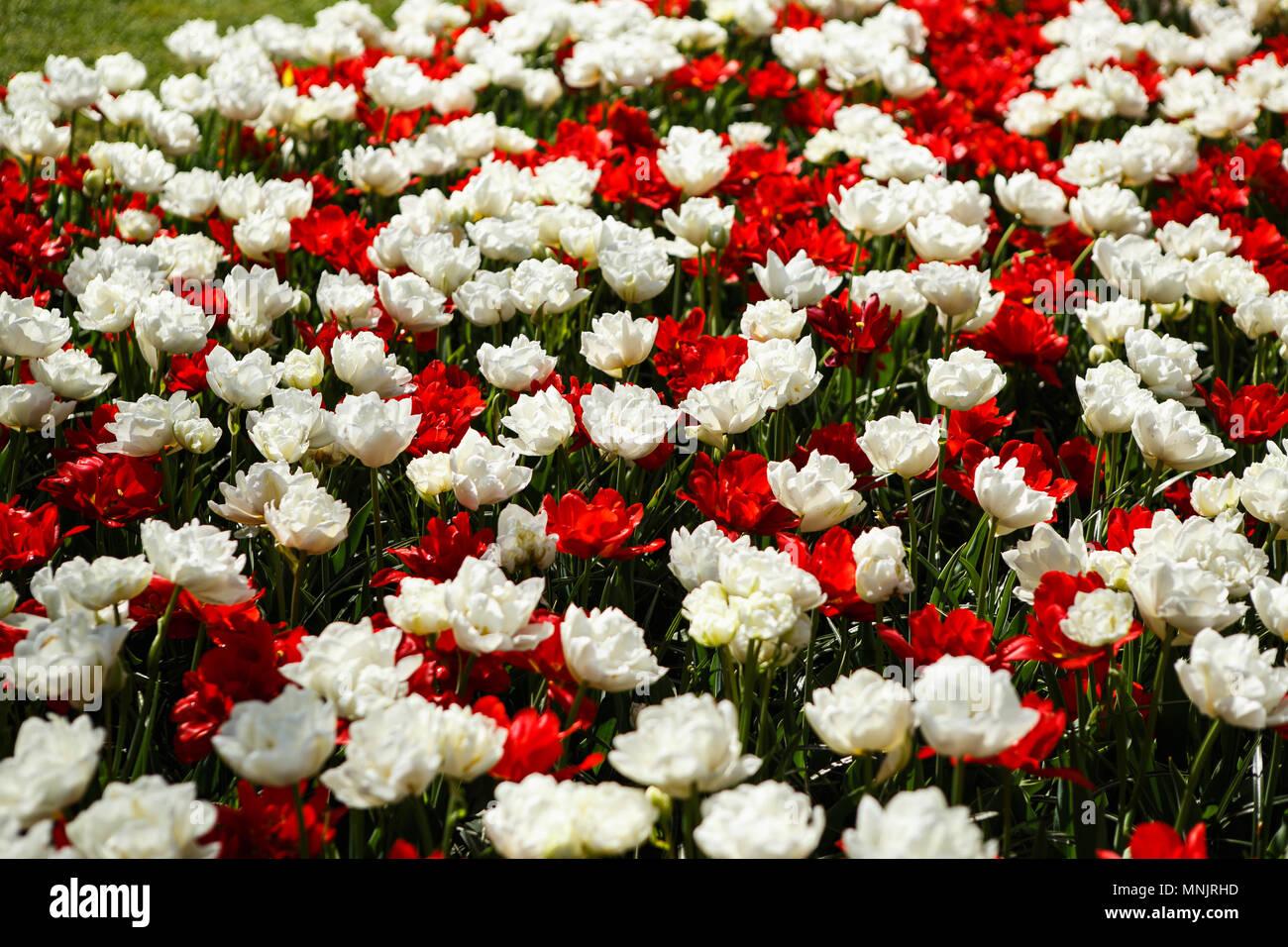 Beautiful Red Peonies Flowers Bloom In Spring Gardencorative