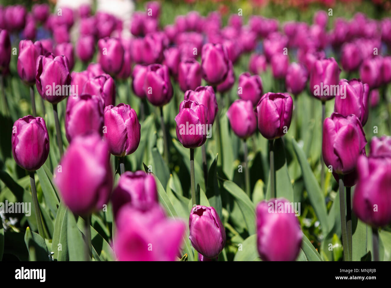 Beautiful colorful purple tulips flowers bloom in spring garden beautiful colorful purple tulips flowers bloom in spring gardencorative wallpaper with violet tulip flower blossom in springtimeauty of nature p izmirmasajfo