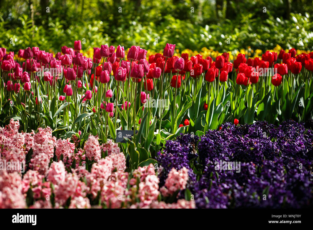 Beautiful Colorful Violet Dahlias Red Tulips Flowers Bloom In