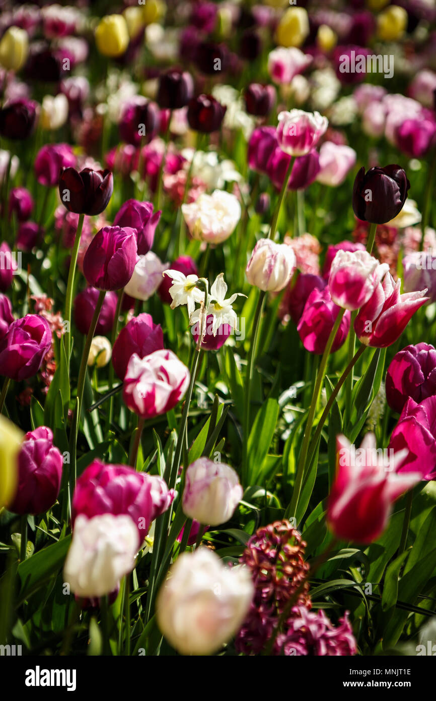 Beautiful Colorful Violet Tulips Flowers Bloom In Spring Garden
