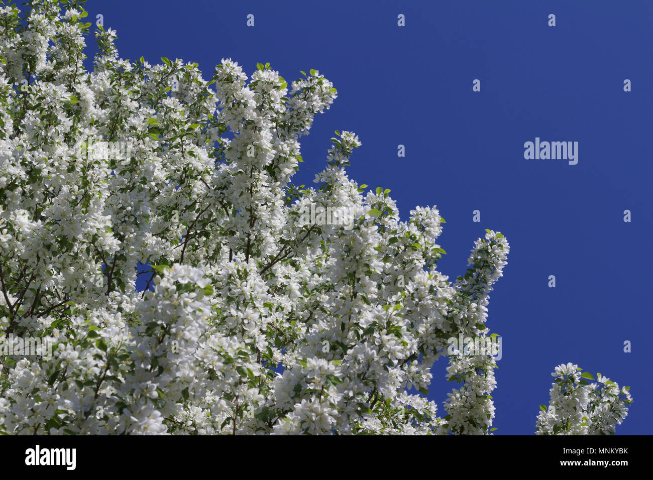 Bright snow white blossoms on a spring blooming ornamental crabapple bright snow white blossoms on a spring blooming ornamental crabapple tree with blue sky background izmirmasajfo