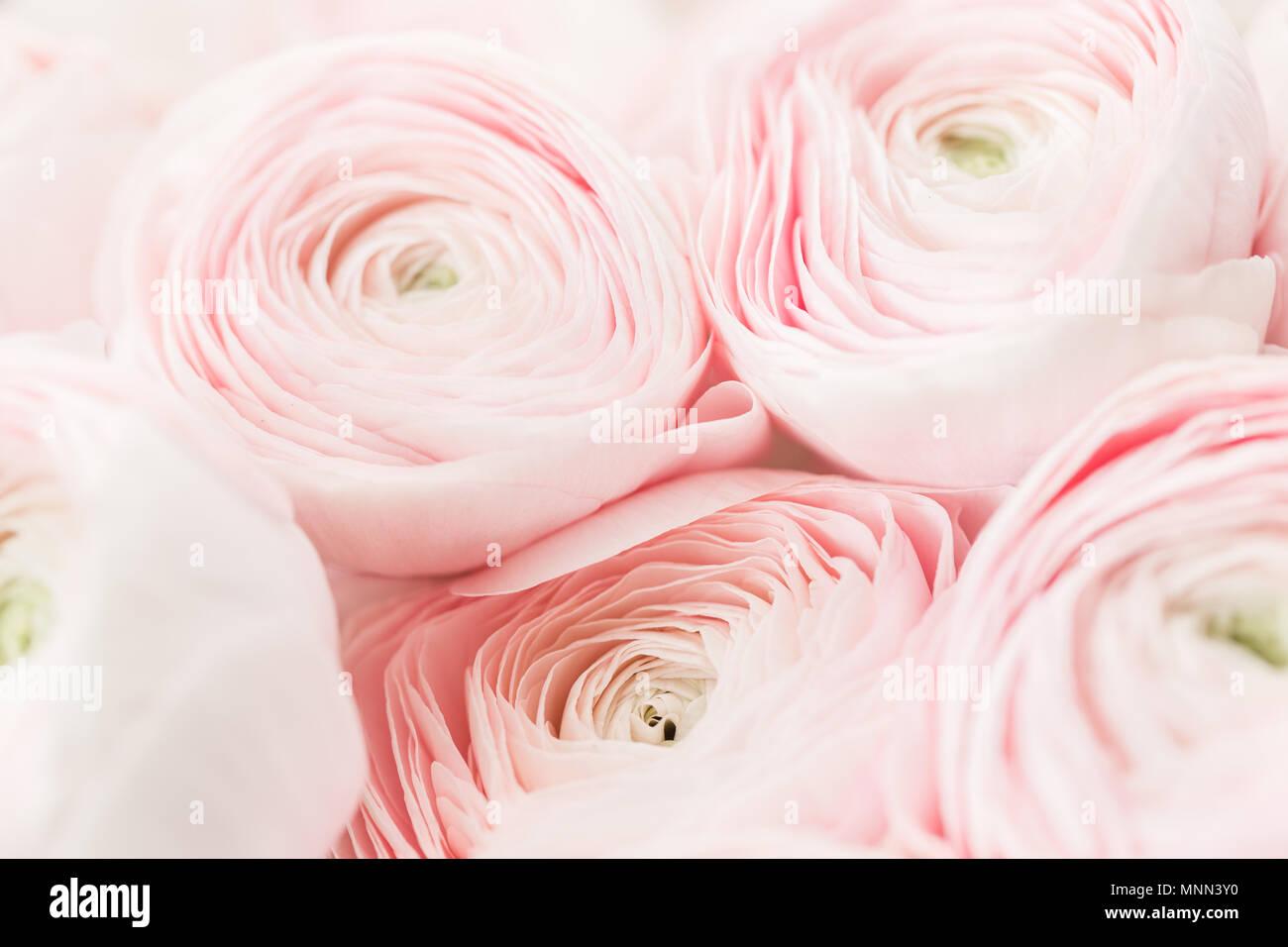 Bunch Pale Pink Ranunculus Flowers Light Background Wallpaper