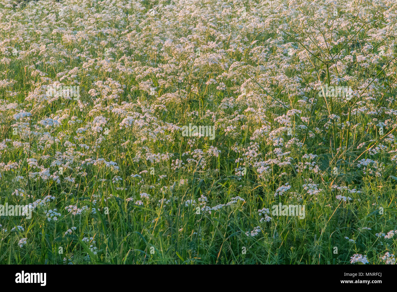 Cow Parsley in the evening sunshine - Stock Image