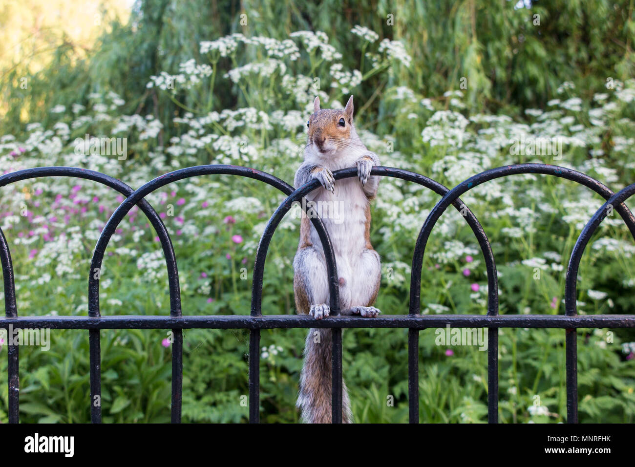 A cheeky squirrel hangs on to some railings and looks into the camera - Stock Image