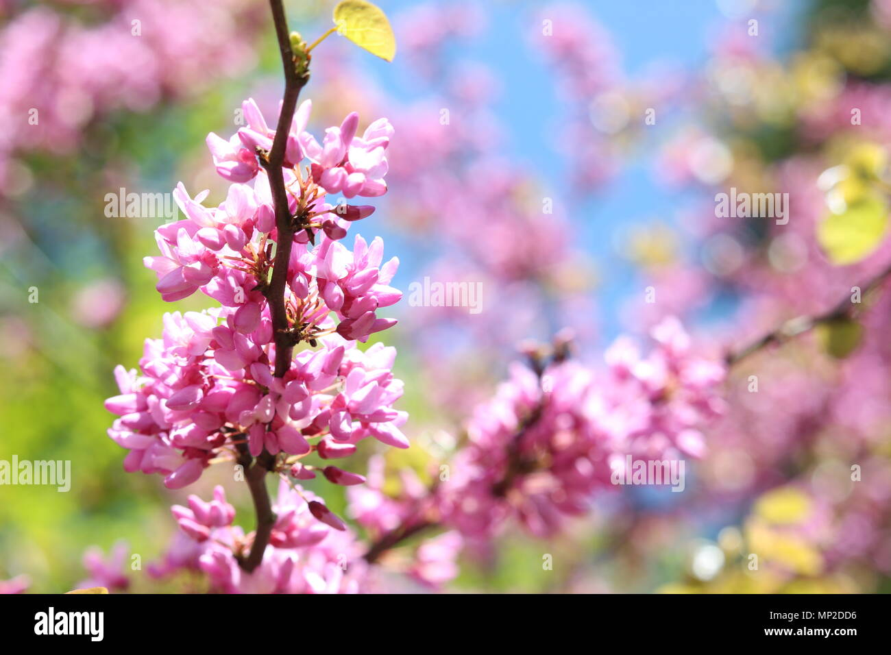 A beautiful close up photo, shallow depth of field, of pink cherry blossom, weeping cherry tree, against blue summer sky and fresh green foliage Stock Photo