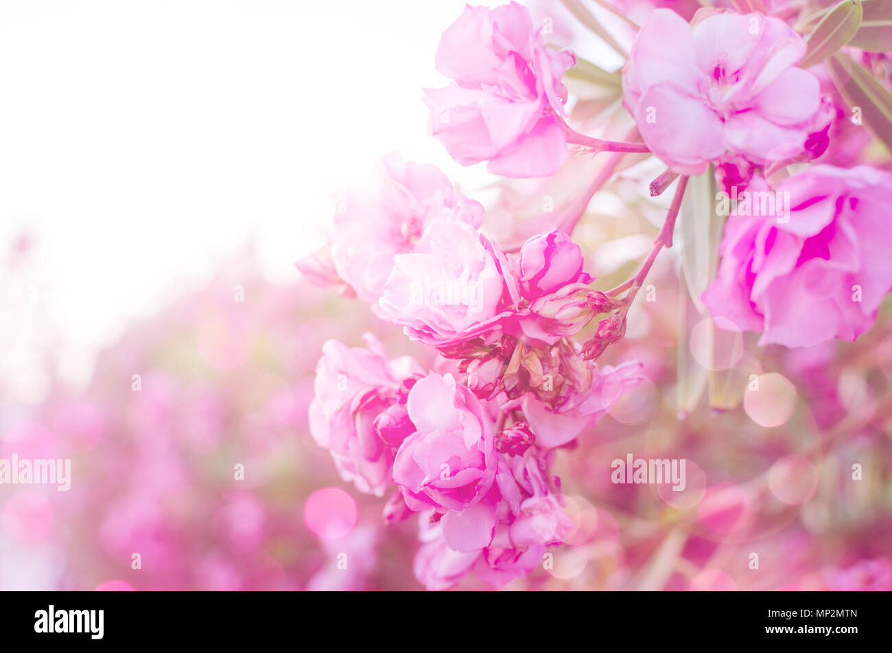 Pink Flowers On Soft Pastel Color In Blur Style Spring Border Or