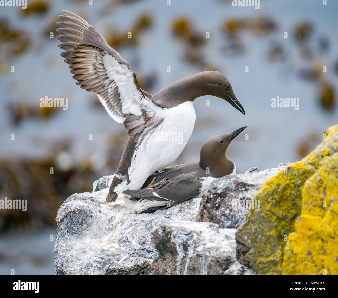 A mating pair of guillemot seabirds, Uria aalge, on a rocky ledge, Isle of May, Firth of Forth. Scotland, UK Stock Photo