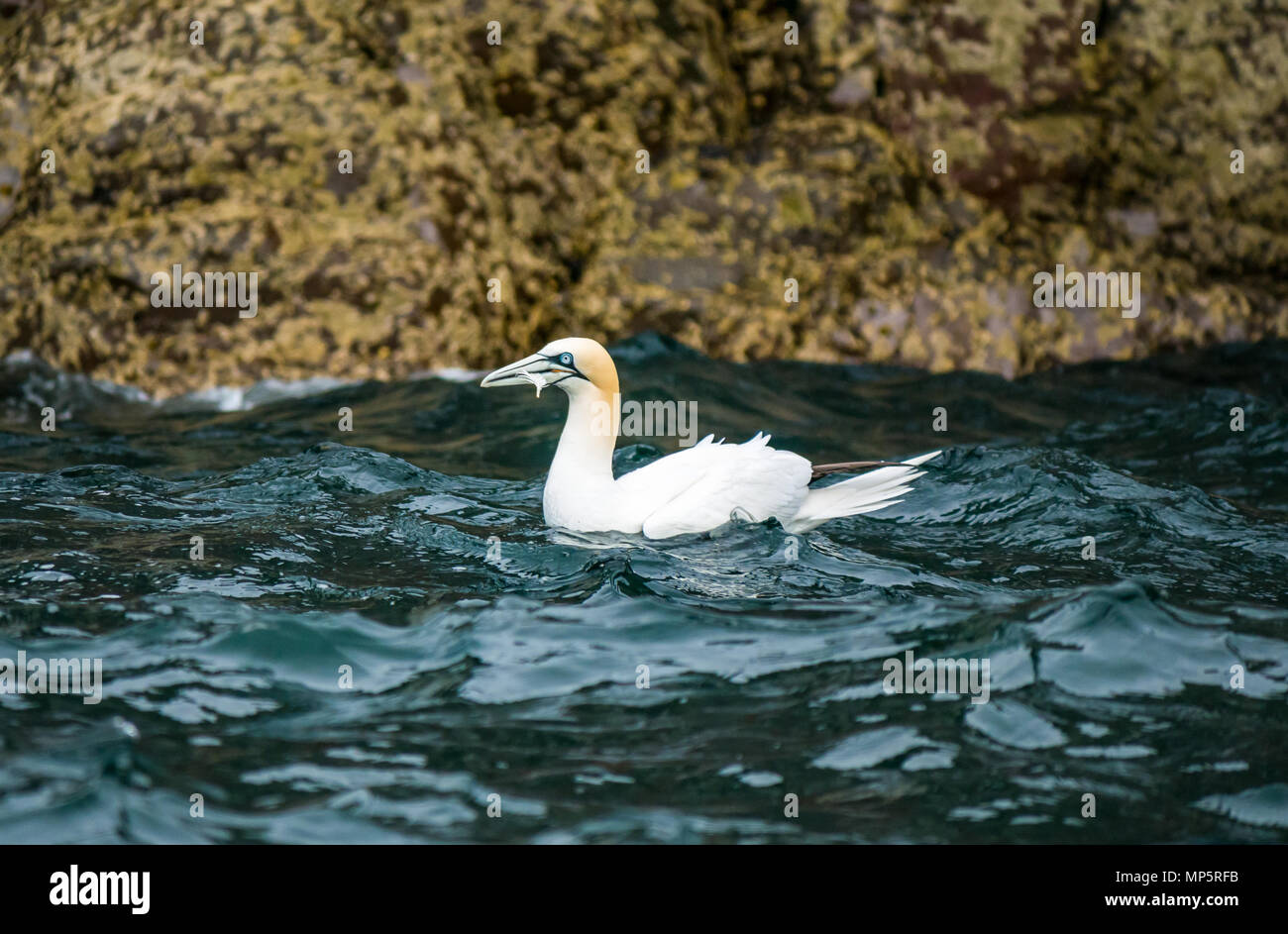 close-up-of-northern-gannet-morus-bassan
