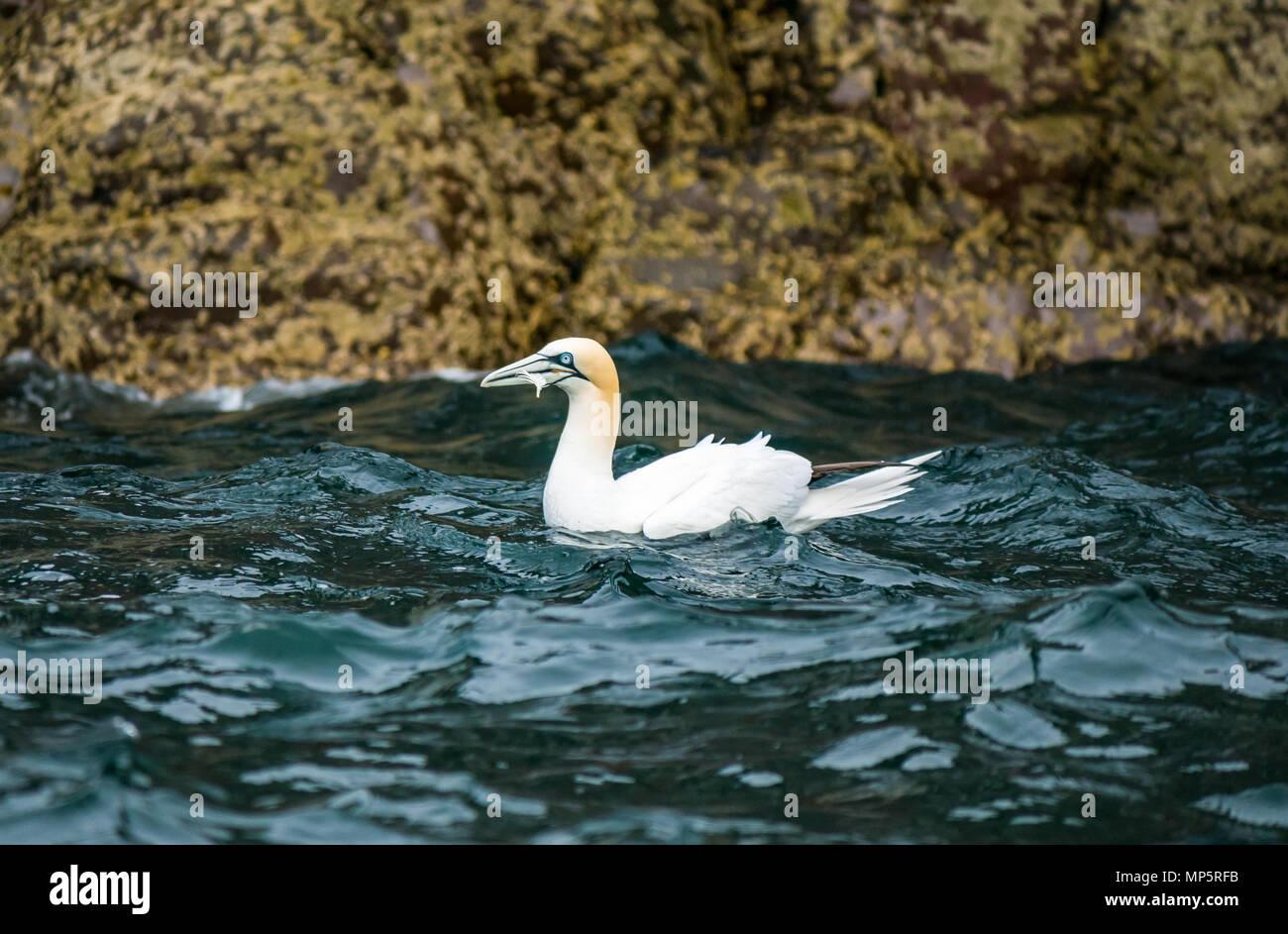 close-up-of-northern-gannet-morus-bassan