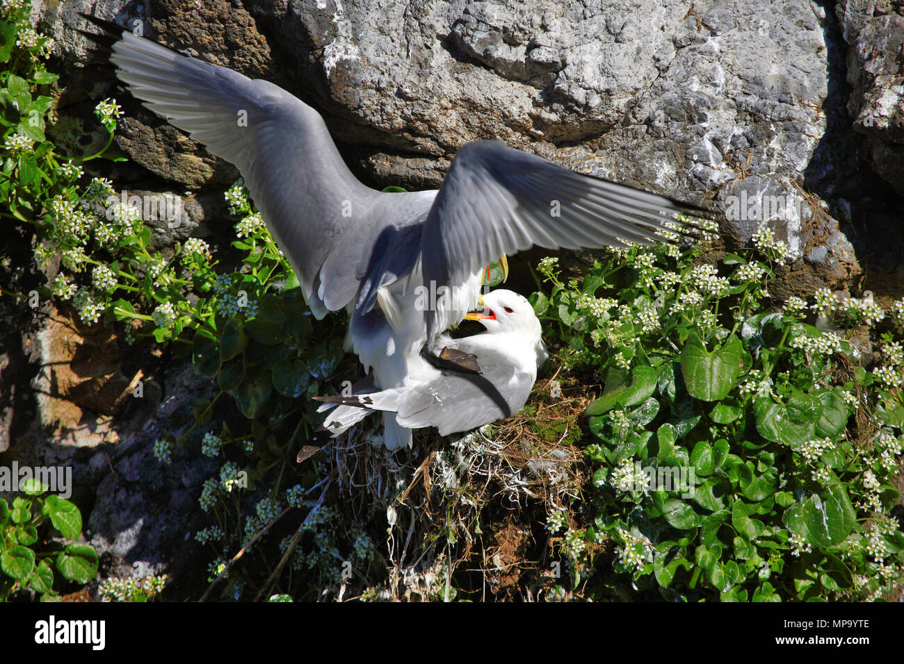 kittiwakes-mating-on-a-cliff-face-MP9YTE