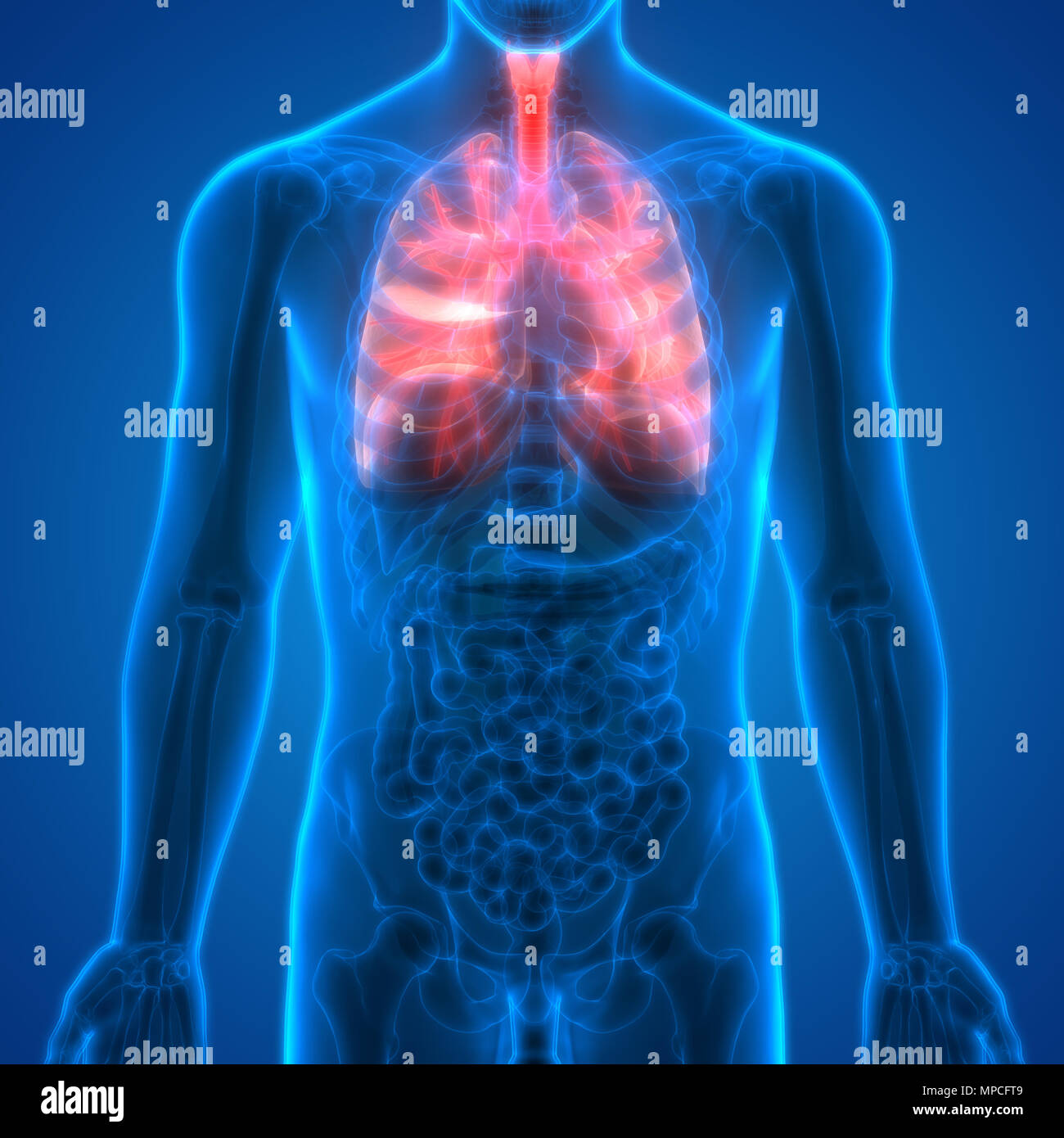 Human Respiratory System Lungs Anatomy Stock Photo 185901977 Alamy