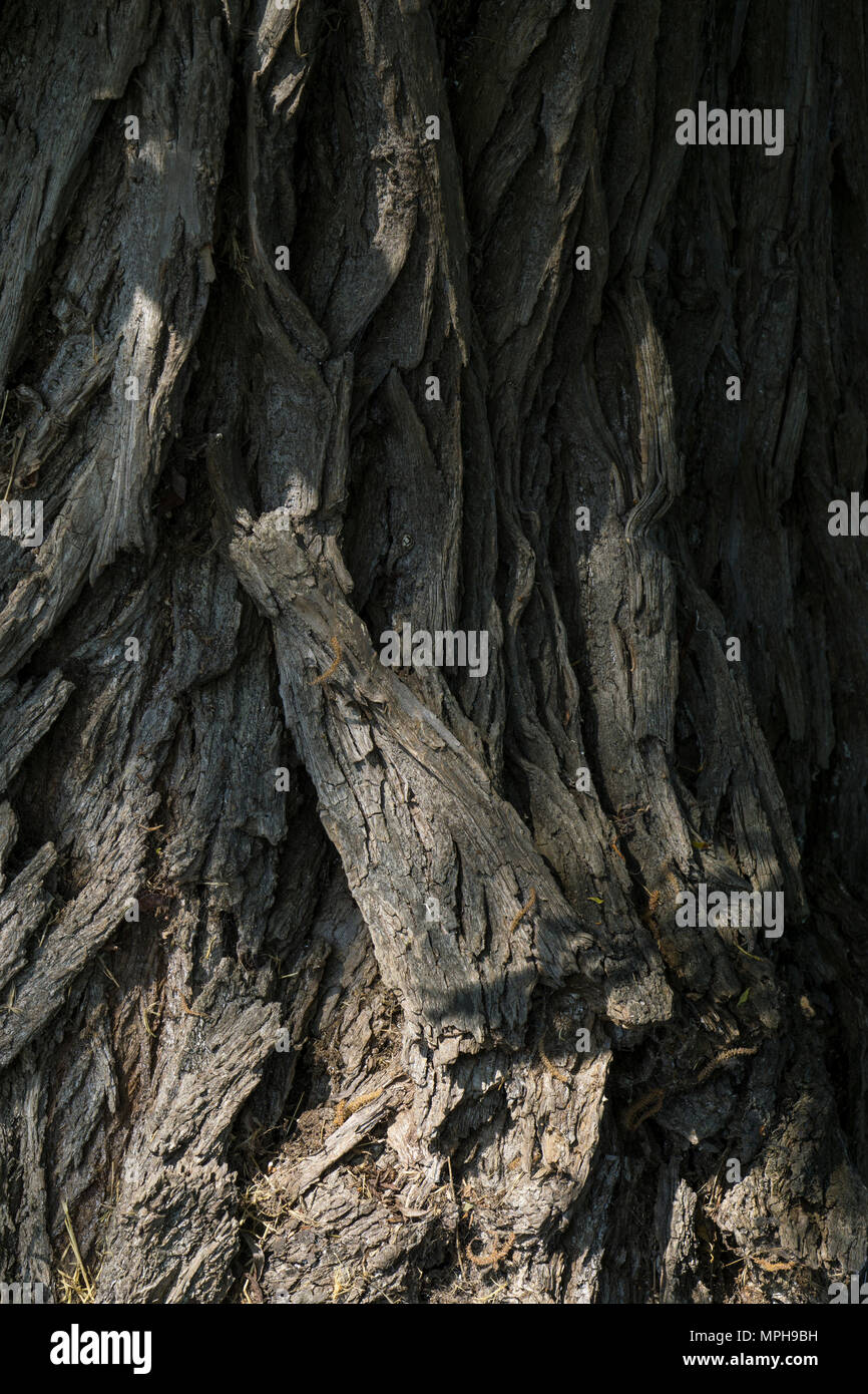 fissured-bark-of-white-willow-tree-MPH9B
