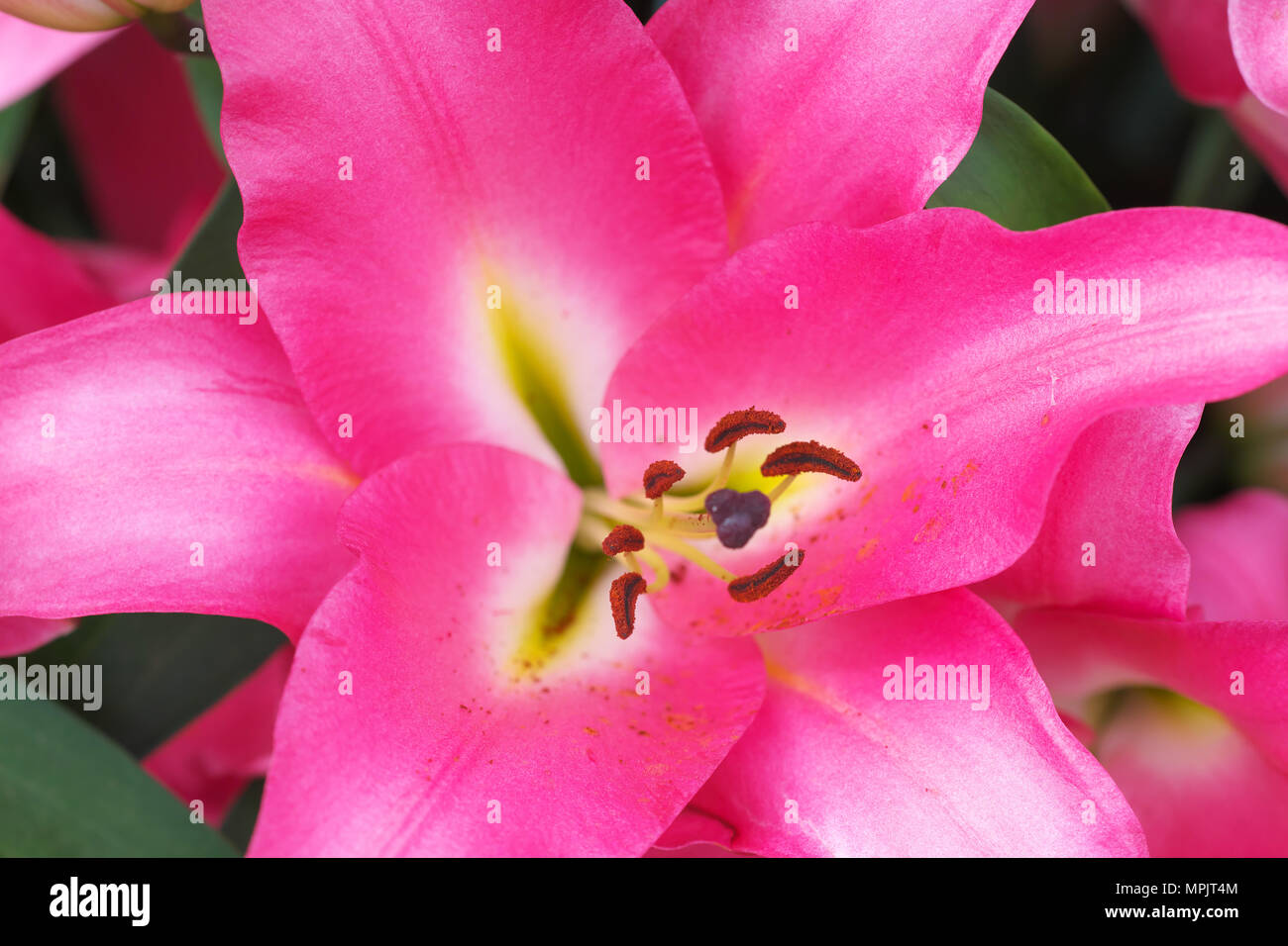 Lilium Praiano Lily With Pink Flower Petals Stock Photo 186040196