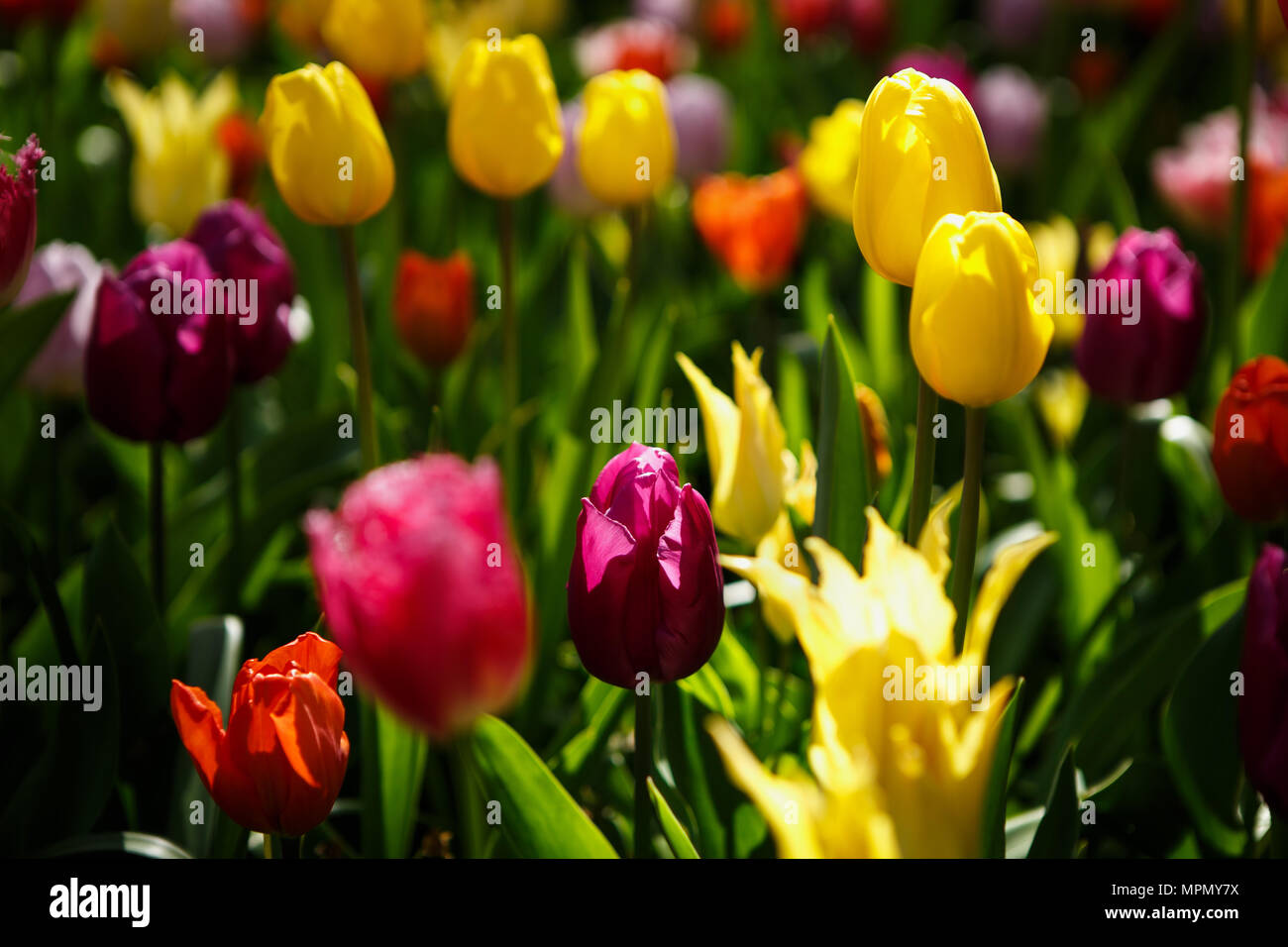 Beautiful colorful redpink yellow tulips flowers bloom in spring beautiful colorful redpink yellow tulips flowers bloom in spring gardencorative wallpaper with flower blossom in springtimeauty of nature pos mightylinksfo