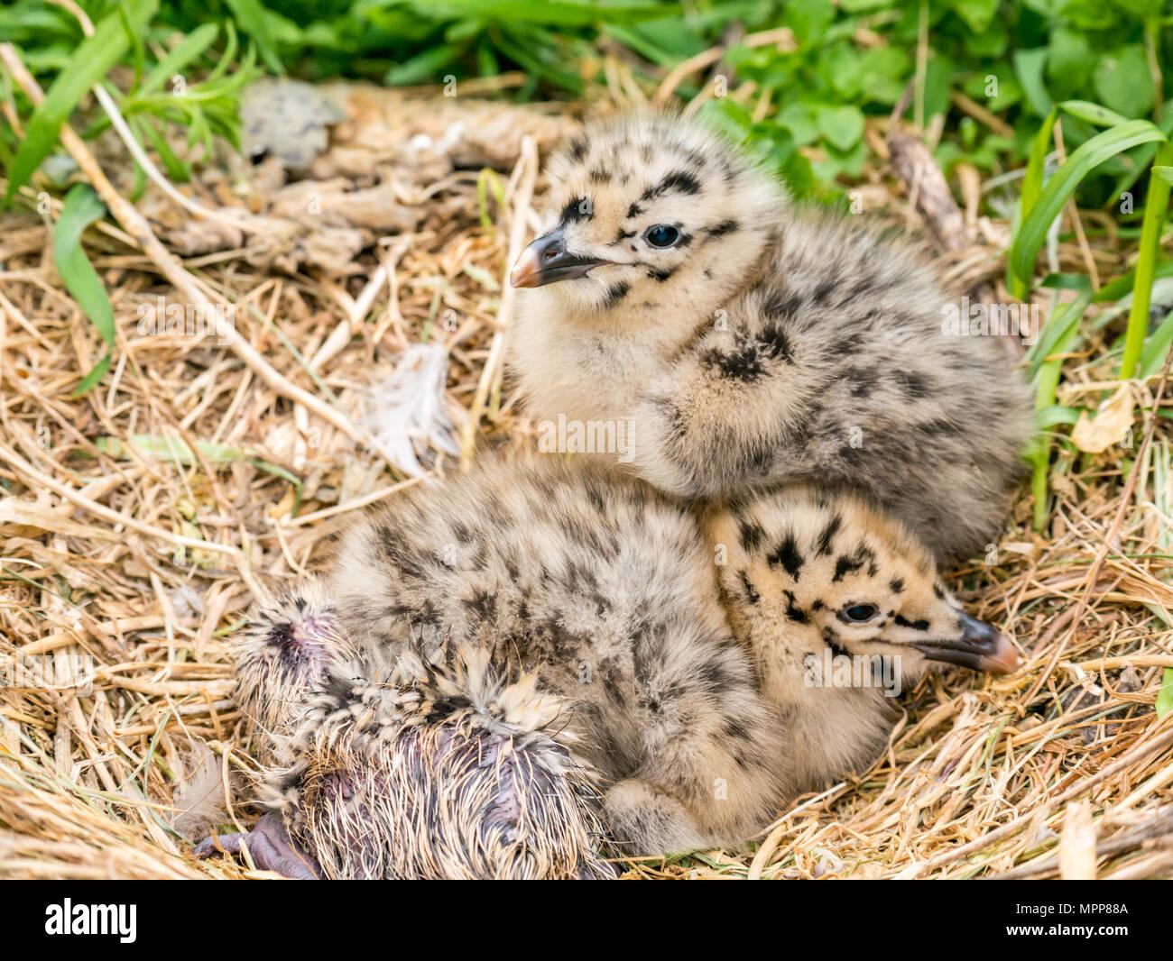 puffin-burrow-count-craigleith-island-24