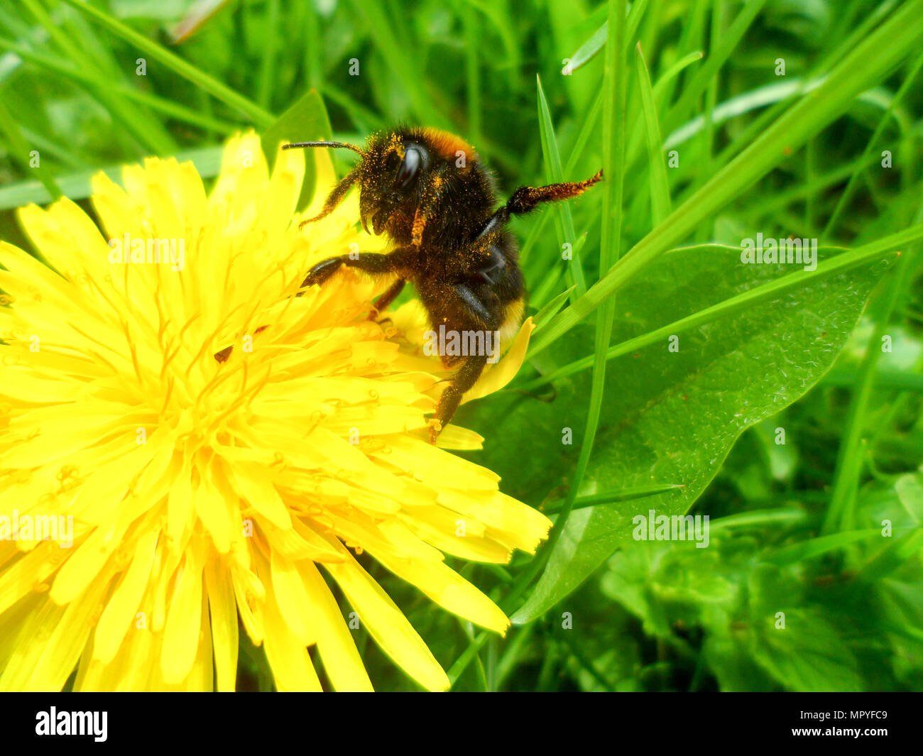 a-bumble-bee-collecting-pollen-from-a-fl