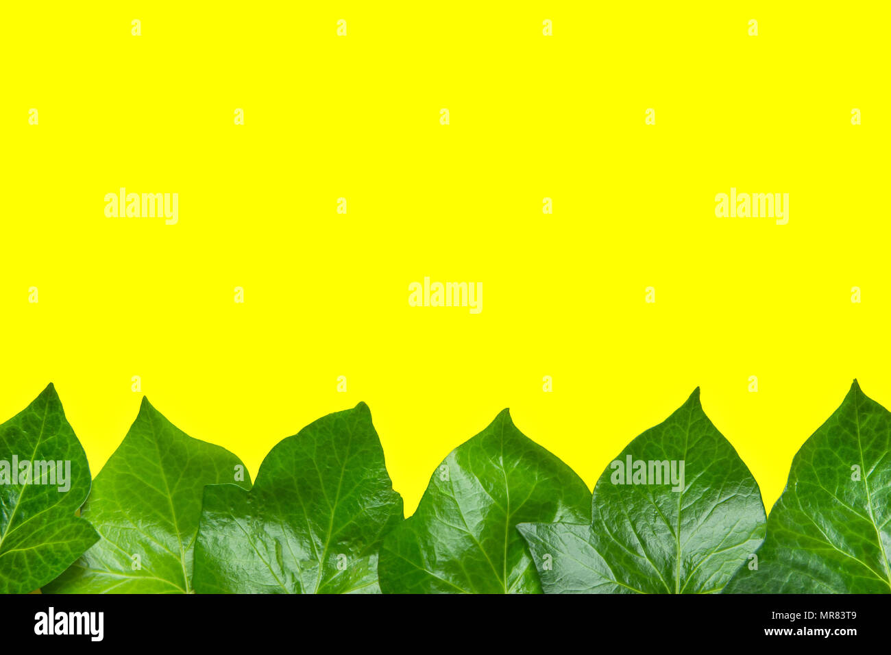 Beautiful Pattern From Fresh Green Ivy Leaves Forming Frame Border On Yellow Background Banner Poster Announcement Template Botanical Foliage Spa O