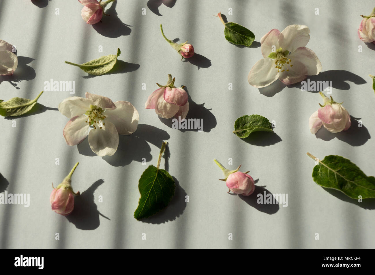 Apple Blossoms On A Gray Background Top View Background Of Spring